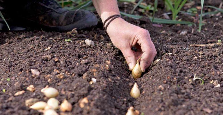 طريقة زراعة البصل في مصر