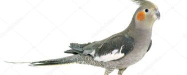 طائر الكروان ومعلومات عن طائر الكوكتيل