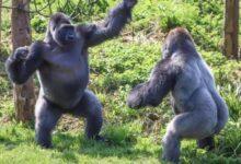 https://www.arab-box.com/gorilla-in-a-dream/