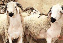 https://www.arab-box.com/the-lamb-in-a-dream/