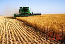 حصاد القمح في المنام
