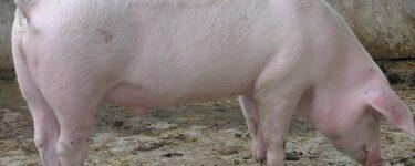 تفسير أكل لحم الخنزير في المنام لابن سيرين