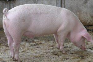 تفسير حلم الخنزير في المنام لابن سيرين