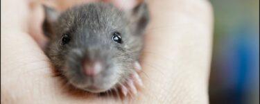 تفسير حلم الفأر الأسود في المنام لابن سيرين