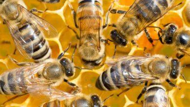 تفسير حلم النحل في المنام لابن شاهين