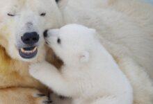تفسير رؤية الدب في المنام لابن سيرين