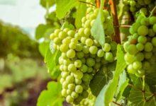 تفسير رؤية العنب الأخضر في المنام لابن سيرين