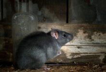 تفسير رؤية الفأر الأسود في البيت في المنام