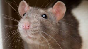 تفسير رؤية الفئران في المنام لابن سيرين
