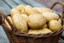 تفسير حلم البطاطس النية في المنام
